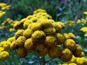 stock photo of tansy  - Yellow tansy flowers growing on the field