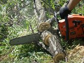picture of firewood  - sawing wood with a chainsaw - JPG