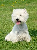 foto of west highland white terrier  - Typical West Highland White Terrier on a green grass lawn - JPG