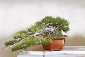 picture of bonsai  - Beautiful pine tree bonsai in the sunlight - JPG