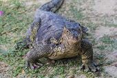 picture of monitor lizard  - water monitor live habitat where is Racha Island - JPG