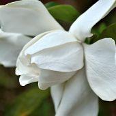 pic of gardenia  - Square shaped closeup image of a freshly opened gardenia bloom on a gardenia bush - JPG