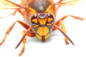 foto of vespa  - The European Hornet  - JPG