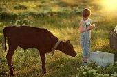 picture of calf  - in summer the sun is on the field with a calf boy in jeans with a chicken in his hands - JPG