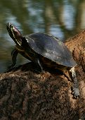 stock photo of cooter  - (florida turtle sunning self) thank you very much for looking