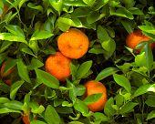 Mature tangerines on the tree