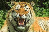 Tigre gruñido 002