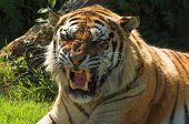 Tigre gruñido 003