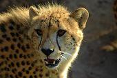 Retrato de cabeza Cheetah