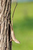 Malaysian Changeable Lizard (calotes Versicolor)