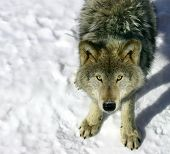 picture of quadruped  - this is a young gray wolf looking up at the camera - JPG
