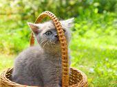 Pequeno gatinho engraçado, sentado em uma cesta