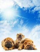 Group of three beautiful sharpei puppies