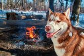 Red Siberian Husky Sitting By The Bonfire In Winter Forest In Sunny Frosty Day. Dog Smiles And Looks poster