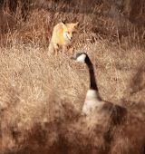 sneaky fox trying to hunt a canada goose in the brush poster