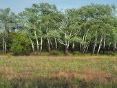 Spring Birch Forest, Bright Young Greens On White Branches, A Bright Sunny Day. poster