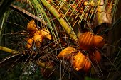 pic of naturist  - Zoomed Close shot  of King Coconut Tree - JPG