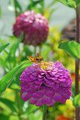 Skipper Butterfly on Zinnia Flower