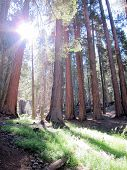 Sequoia trees with backlight