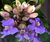 Lila Blumen Traube
