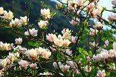 Lotus-flowered Magnolia Flowers Field Closeup,beautiful White With Purple Flowers Of Lotus-flowered  poster