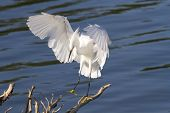 Snowy Egret Landing on Branch in Water