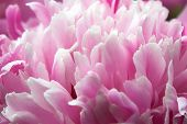 Pink Flowres