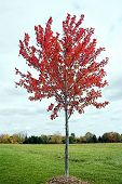 Young Maple Tree