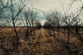 Orchard Of Leafless Plum Trees In Autumn. poster