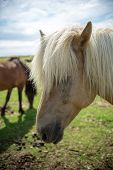 Close Up Of Icelandic Horse In A Pasture In Iceland poster