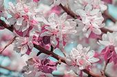 Flowering Branches Of Apple-tree In A Spring Orchard, Macro. Photo Tinted, Selective Focus poster
