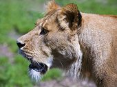 Female Lion Closup