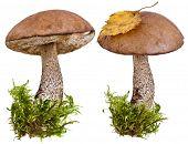 fresh boletus mushroom in a green moss  isolated  on white background