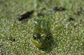 Frog Macro Very Close
