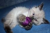 Cute Little Kitten With Thread Ball. Little Kitty Playing With A Violet Ball Of Threads. Kitten Blue poster