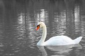 Lonely White Swan On The Lake Surface. Waitinf For His Partner. Sad Single White Swan On The Lake Su poster