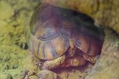 Closeup Of A Egyptian Tortoise Hiding In Its Shell, Critically Endangered Reptile Specie From Africa poster