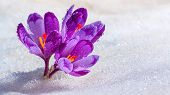 Crocuses - Blooming Purple Flowers Making Their Way From Under The Snow In Early Spring, Closeup Wit poster