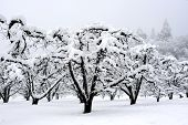 Dormant Orchard Covered In Snow