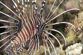 Parasites On Spotfin Lionfish