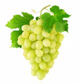 Isolated Grapes. Bunch Of Thompson Table White Grapes Hanging On A Vine Isolated On White Background poster