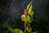 Ladys Slipper Orchid Bloom In The Pouring Rain Like Snowing. Blossom And Water Drops Like Snow. Yell poster