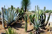 Abundance Of Mexican Cacti