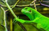 Female Green Banded Fiji Iguana In Closeup, Tropical Lizard From The Fijian Islands, Endangered Rept poster