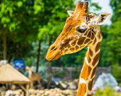 Closeup Of The Face Of A Reticulated Giraffe, Popular Zoo Animal, Endangered Specie From Africa poster