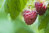 Lose-up Of The Ripe Raspberry In The Fruit Garden,ripe Raspberry.red Raspberry With Leaf On Green Ba poster