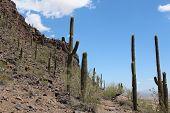 Saguaro Cactus at Picacho Peak Park