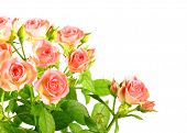 Light Pink Roses With Green Leafes