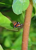 pic of animals sex reproduction  - two ladybug on green sheet - JPG