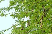 image of tamarind  - this is fresh tamarind on tree in thailand